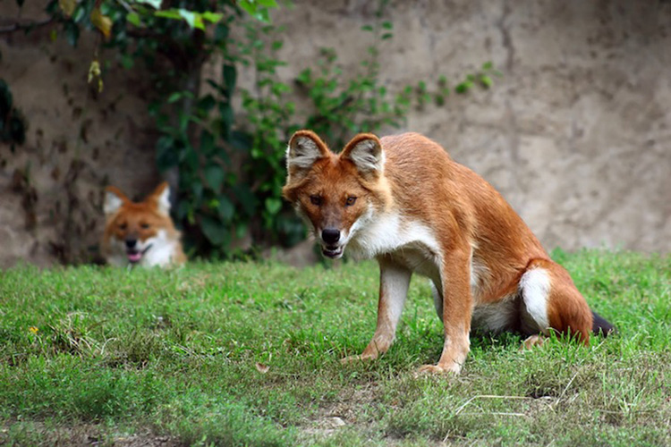 weird-animals-dhole