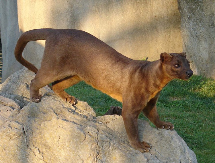 weird-animals-fossa