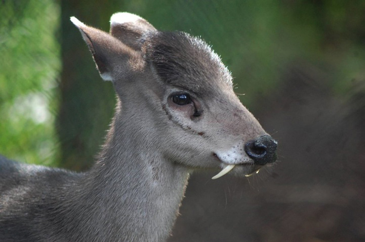 weird-animals-tufted-deer