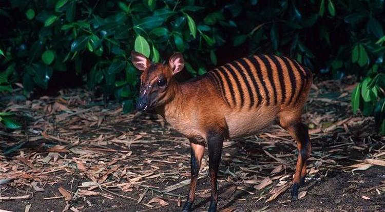 weird-animals-zebra-duiker