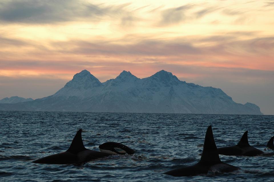 Curiosidades sobre las orcas
