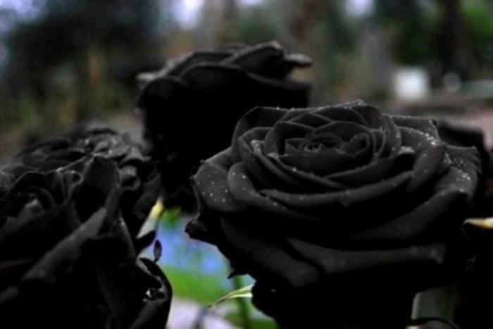 Rosas de Halfeti
