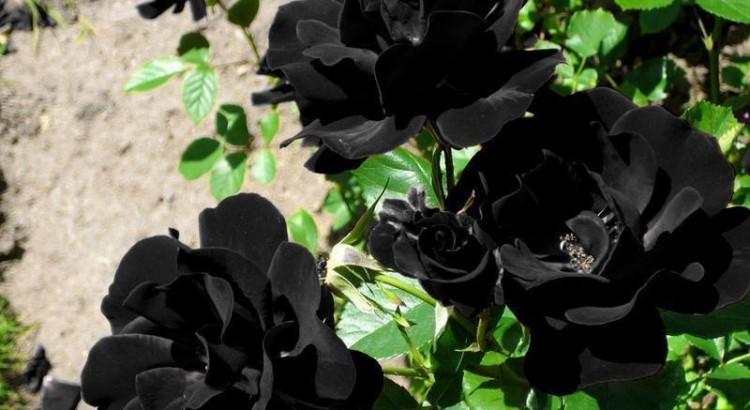 Lo dicho, esta variedad tan curiosa de rosa es perfecta para amantes de lo exclusivo, pero para verlas, tendrán que ir hasta Halfeti.
