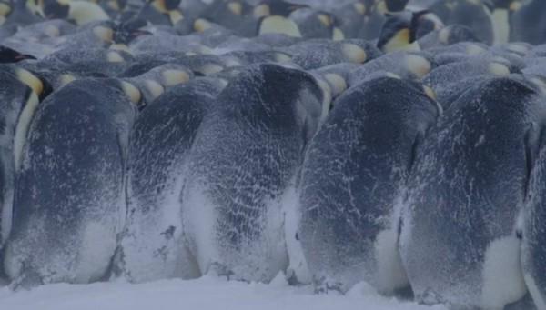 curiosidades de los pingüinos