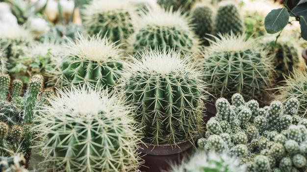 curiosidades-de-los-cactus-1