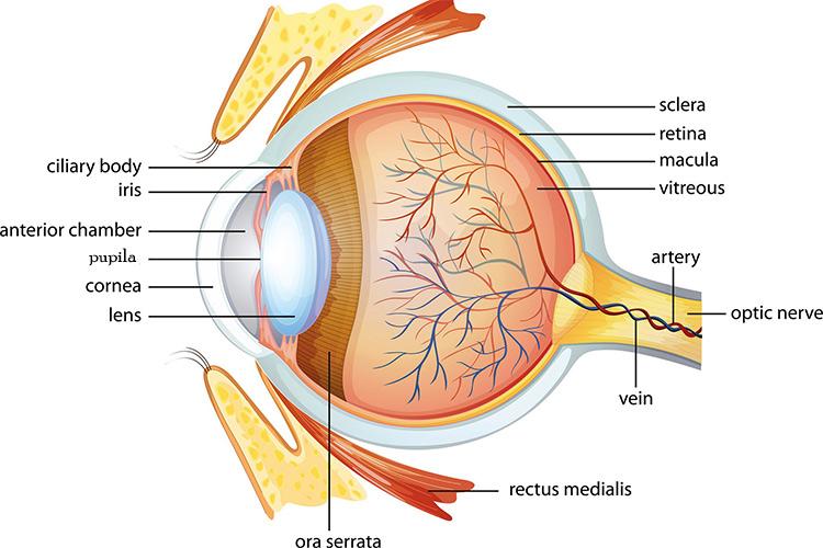 curiosidades sobre los ojos-partes del ojo